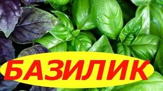 видео Как вырастить базилик на подоконнике из семян?