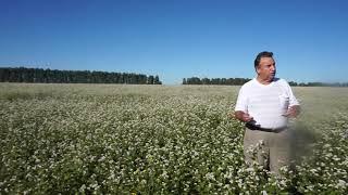 видео Выращивание гречихи: посадка, уход, сбор урожая
