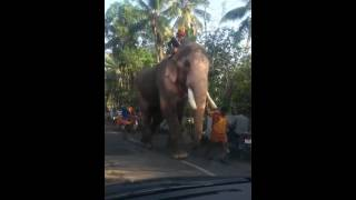 Biggest living elephant of india