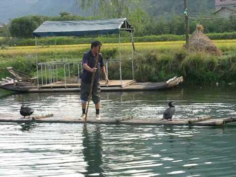Cormorant Fishing In China