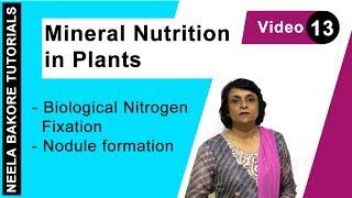 Mineral Nutrition in Plants - Biological Nitrogen Fixation - Nodule Formation