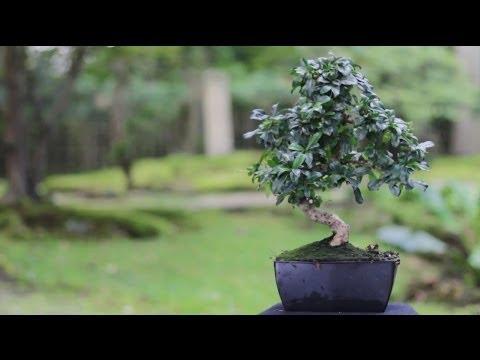 Indoor Bonsai tree care guidelines - Bonsai Empire