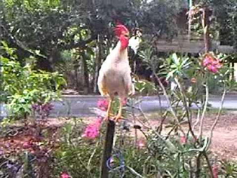 Ayam ketawa bakka type dangdut