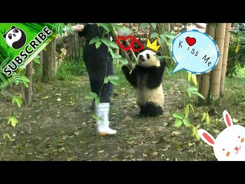 The most clumsy panda baby VS the most playful nanny | iPanda