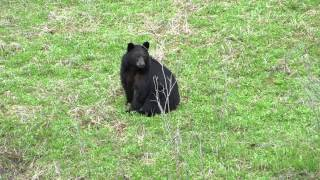 Black Bear at Medicine Lake, Jasper National Park June 5th 2014