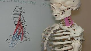 Причина онемения рук, укорочение лестничных мышц, упражнения на растяжение, Scalene Muscle Stretch