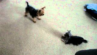 Priceless Yorkie Puppy -yorkies Playing Together- Tanisha Breton Www.pricelessyorkiepuppy.com