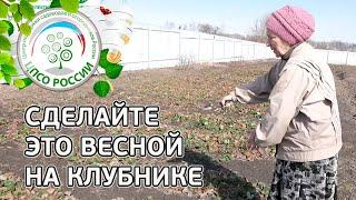 Земляника садовая выращивание. Уход.