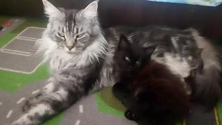 Мейн-кун мамочка и котенок любимые пушистые сладкие