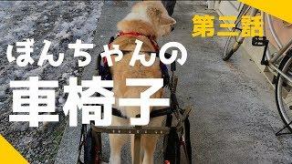秋田犬のぼんちゃん。車椅子に乗る。ほら、歩けるよ。また楽しくお散歩...