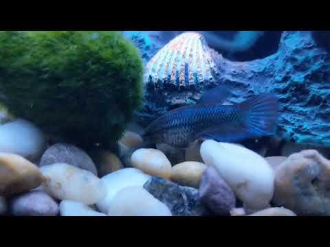 Betta Fish Guinness Record Poop. Sheesh Nsfw