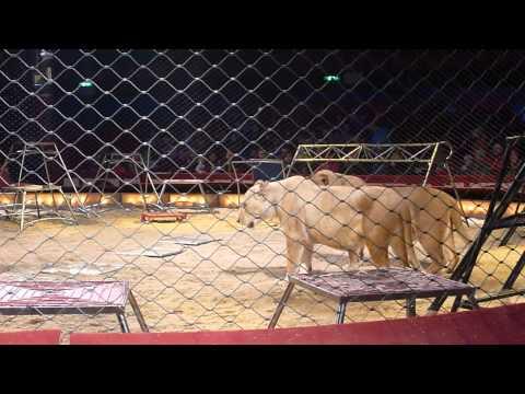 Kommentierte Öffentliche LöwenDressurproben im Circus Krone