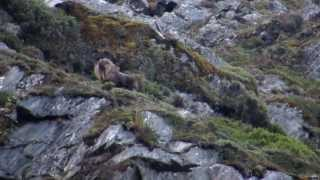 Bull Tahr Hunting on the West Coast of New Zealand