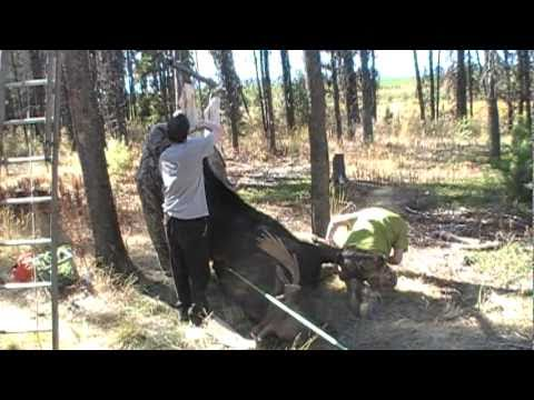 Learn How to Skin a Moose | Moose Hunting Videos