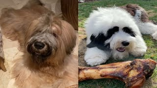 OLD ENGLISH SHEEPDOGS 2021