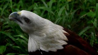 Brahminy Kite Eagle Crying Like A Baby.