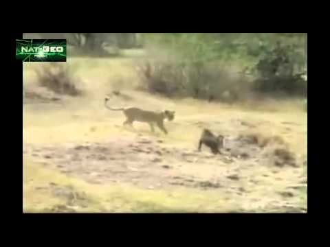 Ape Vs Lion