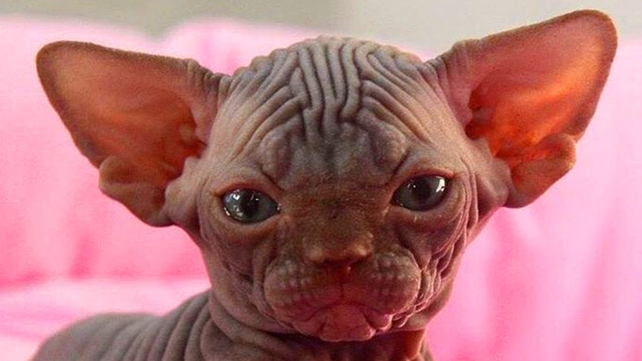 90 Seconds of Adorable Sphynx Kitten Just Being Cute ...