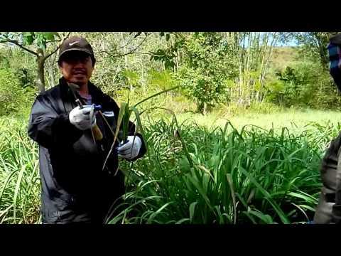 How to harvest Citronella grass