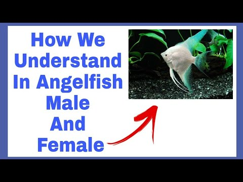 Difference In Angelfish Male And Female