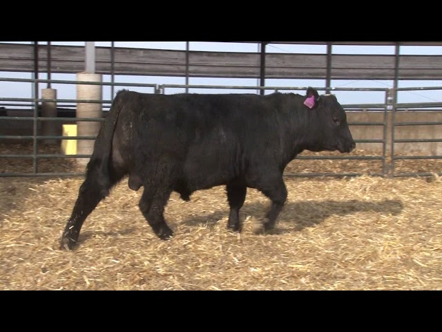 Schiefelbein Angus Farms Lot 76