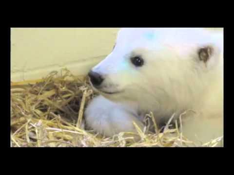 Orphaned Polar Bear Cub At The Alaska Zoo