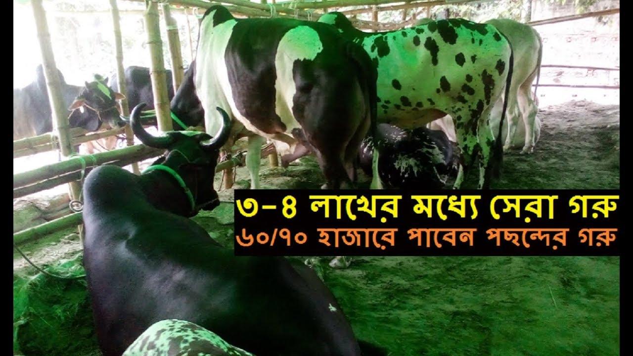 Download কুরবানির হাটের সেরা গরু | মানসম্মত ভালো জাতের গরু কিনুন এই খামার থেকে | ১০০০ kg ওজন গরুর দাম ৩/৪ লাখ