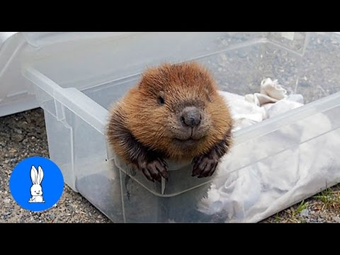 Eager Baby Beavers Eating Timber - CUTEST Compilation