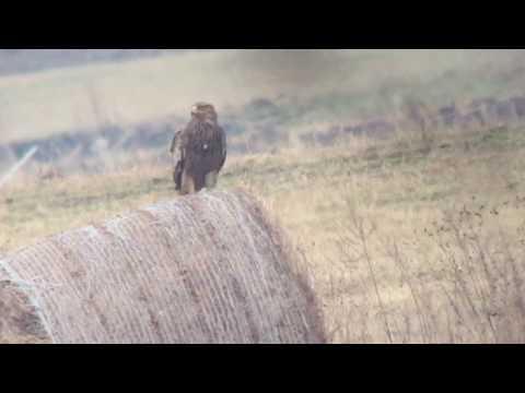 Orzeł cesarski / Eastern imperial eagle - 18.03.2017, Krosno, SE Poland