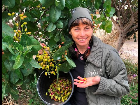 Pistachio: Growing pistachio trees and harvesting your crop in Melbourne