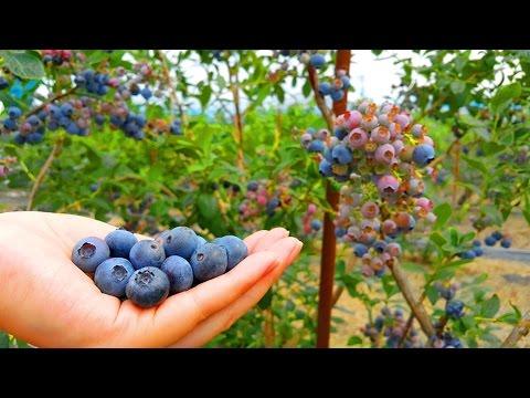 สวนบลูเบอร์รี่ Kita-Aizu Fruits Land เก็บกินกันสดๆ แบบไม่อั้น (Facebook Live)