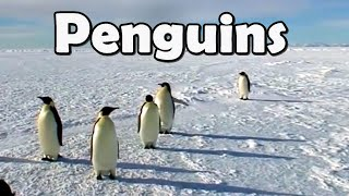 Funny cute penguins compilation