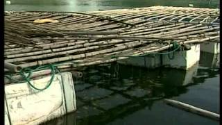 Pacific oyster culture in Vietnam - Source: FSPS II