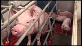 Alimentation sur mesure du porc