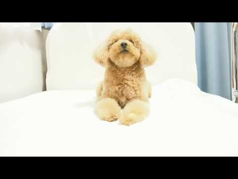 犬と遊ぶのは楽しい - トリミング後に犬芸 -トイプードル / It's fun to play with dogs - Dog Tricks After Grooming - Toy Poodle