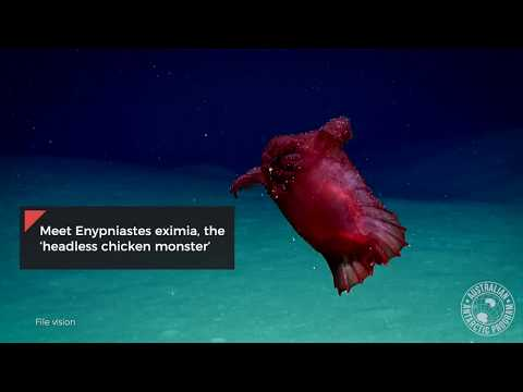 "Underwater Camera Captures ""Headless Chicken Monster"""