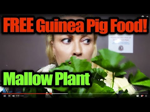 Free Guinea Pig Food - Mallow Plant