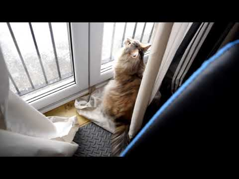 Maine Coon Cat loves the heavy snowfall