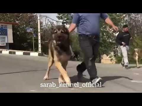 ✔️Powerfull Sarabi dogs