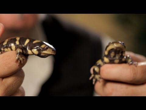 9 Facts about Tiger & Fire Salamanders | Pet Reptiles
