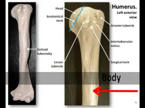 Bones of the Arm The Humerus - The Appendicular skeleton