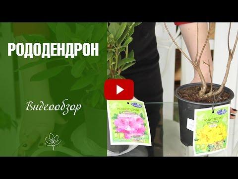 Комнатное растение роза: фото, описание и уход
