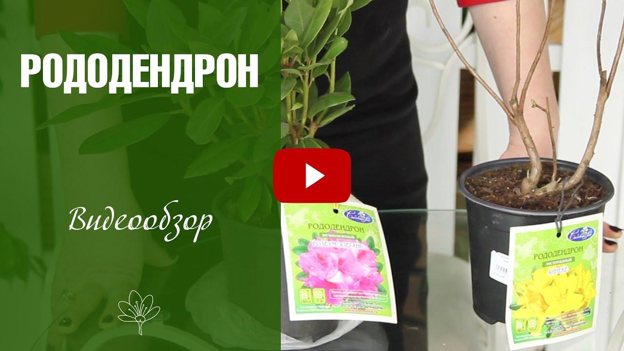 Рододендрон  посадка и уход ✅ Садовые цветы  -  цветоводство hitsadtv