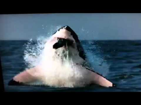 Great White Shark Attack On Seal - YouTube