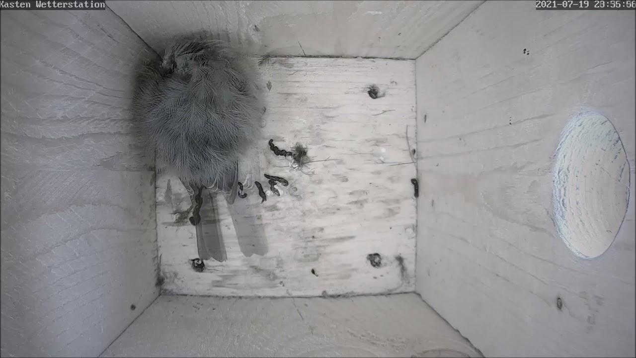 Kohlmeise schläft im Nistkasten   How birds sleep   20.07.2021