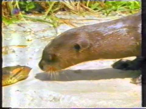 Otter vs Anakonda