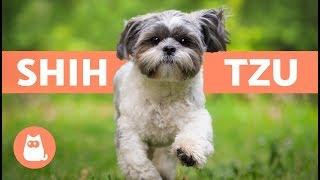 SHIH TZU en español  Características y cuidados