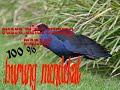 Suara Pikat Burung Mandar Pelan  Mp3 - Mp4 Download