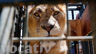 Syrian Zoo Animals Escape War