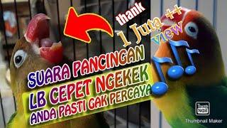 SUARA PANCINGAN LOVEBIRD agar CEPAT NGEKEK PANJANG || BAMIS LOVEBIRD farm